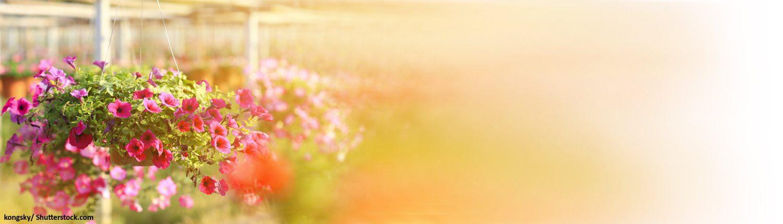 Blumen, bunt, Topf, Petunien, Gärtnerei, Pflanzen, Topfpflanzen